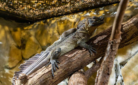 A picture of a Philippine Sailfin Lizard at the Kraków Zoo.