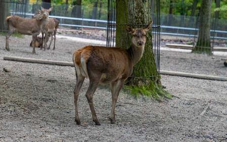 A picture of a Barasingha at the Kraków Zoo.