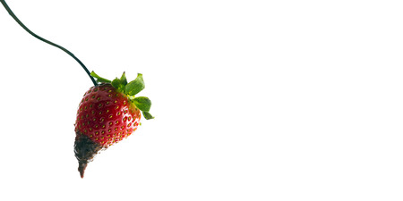 Strawberries with chocolate  isolated on white  Imagens