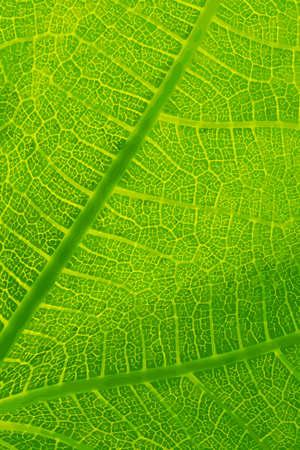 detail: Green Leaf Detail Close-up Vector Illustration Illustration