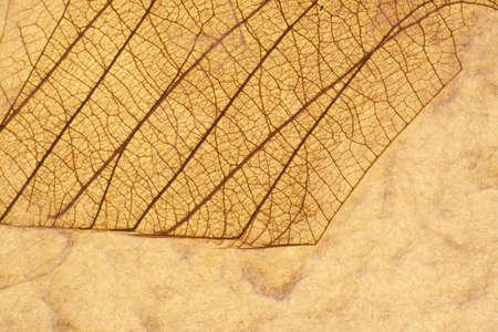 veiny: Venosas Hoja presionada en el fondo Papel Reciclado Horizontal
