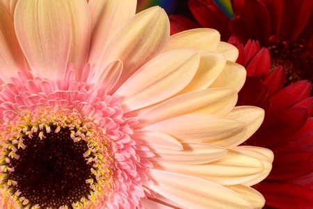 nature photo: Gerbera Flower Petals Closeup Horizontal Photograph