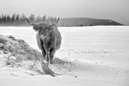 highlander: Una Mucca Highlander in inverno Archivio Fotografico
