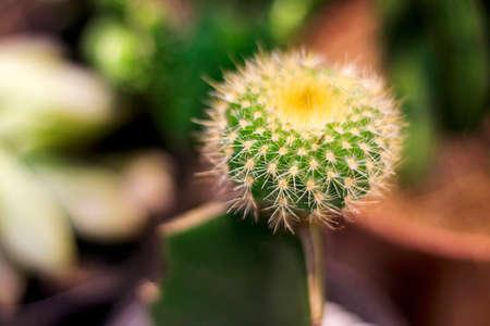 Cactus in closeup