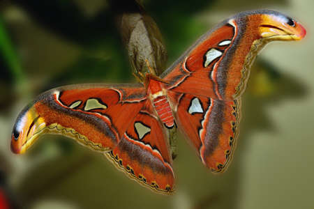 deceptive: Attacus Atlas, tropical butterfly