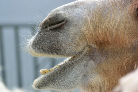 mouth close up: Camel mouth close up