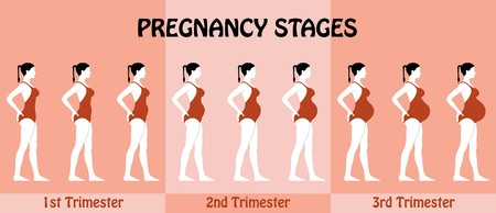 Pregnancy Trimesters of pregnant woman with swimsuit. All the objects and body stages are in different layers and the text types do not need any font. Illustration