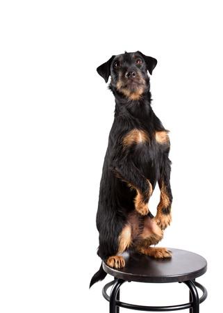 obediencia: Yagd obediencia del perro del terrier en un fondo blanco