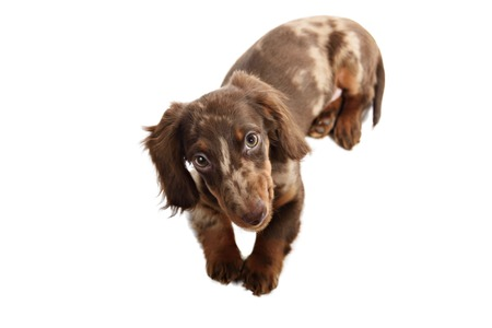 puppy dachshund on a white background isolate Stock Photo