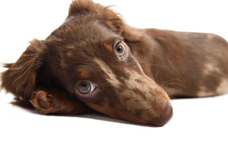 doxie: puppy dachshund on a white background isolate Stock Photo