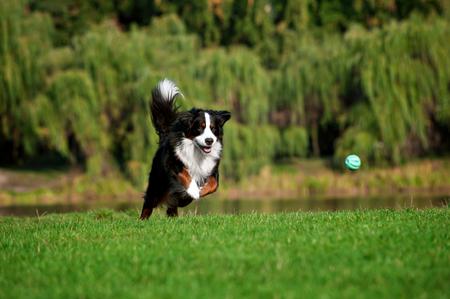 Perro feliz saltando en marcha en carretera de verano Foto de archivo - 46400987
