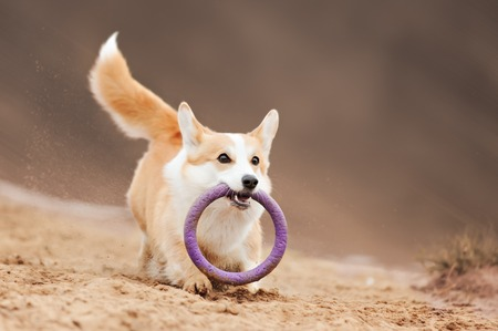 dog Welsh Corgi flying