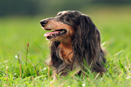 doxie: a miniature long haired dachshund Stock Photo