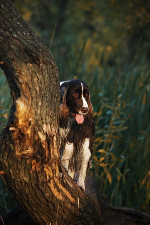 springer spaniel: A beautiful English Springer Spaniel dog
