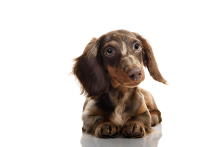 Studio portrait of little brown spotted dachshund isolated on white background Stock fotó