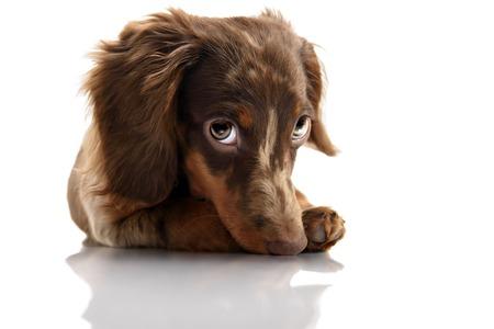 kleine schattige bruin gevlekte teckel puppy met grote ogen