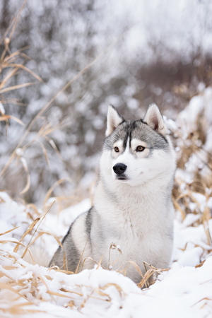 portret: purebred siberian husky dog in winter portret Stock Photo