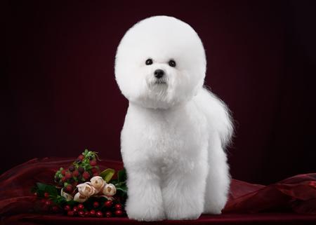 花と暗いスタジオでビションフリーゼ犬 写真素材