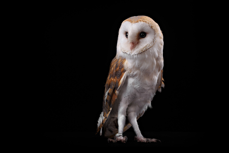 Barn Owl on perch looking left. Low key studio shot taken against a dark background. 版權商用圖片