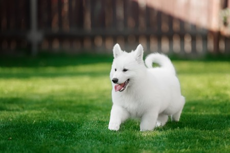 White Swiss Shepherds puppyin outdoore and green glass