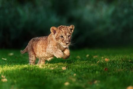 Jonge leeuw cub in het wild en groen glas Stockfoto