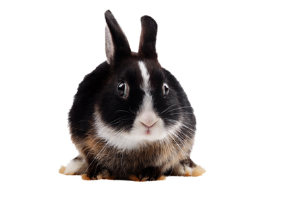 rabbit: Black rabbit with frightened eyes on a white background isolated