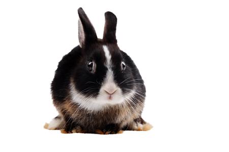 lapin blanc: Lapin noir avec des yeux effar�s sur un fond blanc isol� Banque d'images