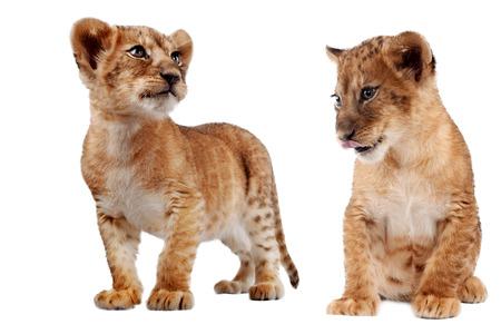 白で隔離ライオンの子立って、見下ろして、10 週齢の側面図