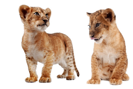 standing lion: Side view of a Lion cub standing, looking down, 10 weeks old, isolated on white