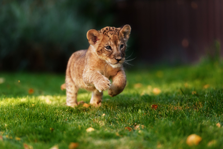 Little beautiful lion cub on a green grass