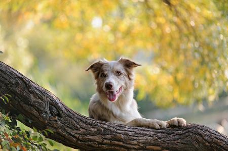 秋の公園で木の近くボーダーコリーの立っています。