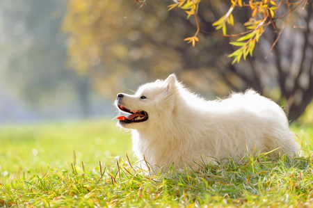 Smiling happy Samoyed dog in the autumn park