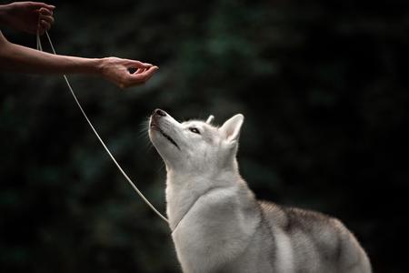 lobo feroz: Un retrato del perro lobo huskey en el Parque de otoño