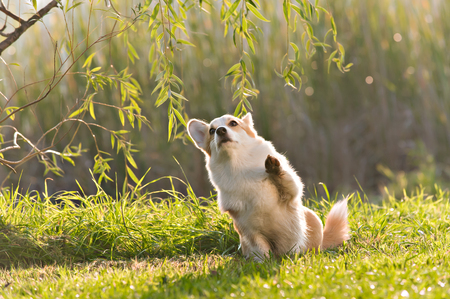 cin: Cute Pembroke Welsh Corgi does tricks at the park