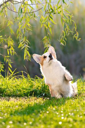 cin: Cute Pembroke Welsh Corgi does tricks at the park