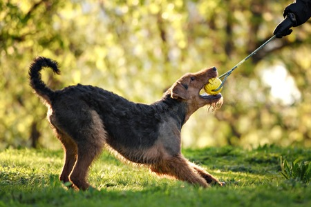 airedale terrier dog: The portrait of Airedale Terrier on the green grass Stock Photo