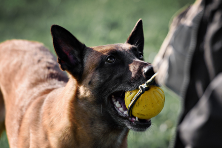 mouth close up: picture of a purebred belgian sheepdog malinois and ball in his mouth close up shot Stock Photo