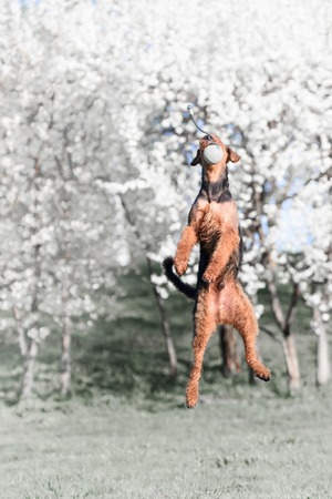 airedale terrier dog: Airedale terrier dog jumping on the background of a flowering tree in a park