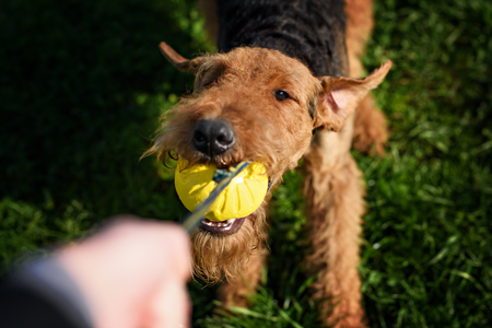 The Airedale Terrier playing ball close up shot