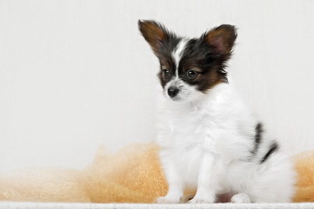 k9: Papillon, ButterflyDog, SquirrelDog in front of a white background
