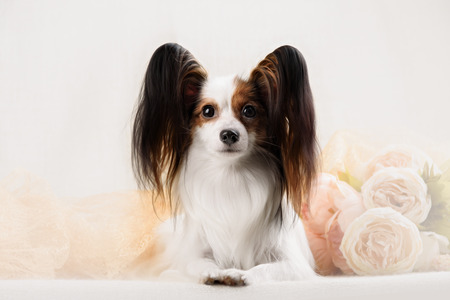 pap: Papillon breed dog on a white background close up shot