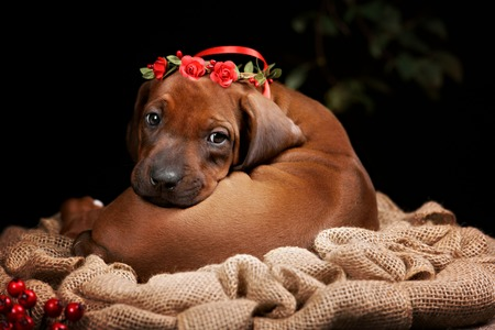 rhodesian: Rhodesian Ridgeback dog resting in front of black background. Autumn portrait romantic collection