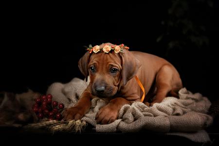 ridgeback: Rhodesian Ridgeback dog resting in front of black background. Autumn portrait romantic collection