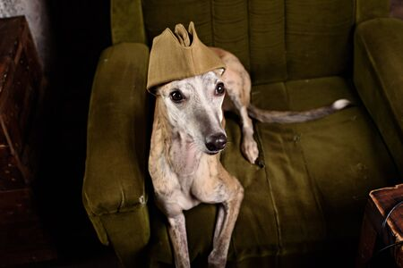 canine: Dog breeds Whippet in the clothes of a soldier in the Studio Stock Photo