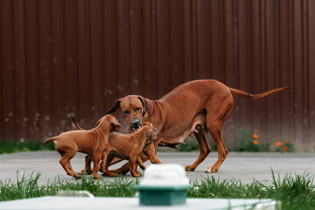 house coats: Adorable little Rhodesian Ridgeback puppies playing together in garden. Funny expressions in their faces. The little dogs are five weeks of age. Stock Photo