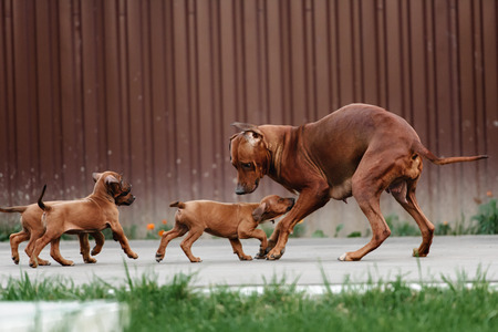 Most Inspiring Rhodesian Ridgeback Brown Adorable Dog - 46420022-adorable-little-rhodesian-ridgeback-puppies-playing-together-in-garden-funny-expressions-in-their-fa  Snapshot_27985  .jpg?ver\u003d6