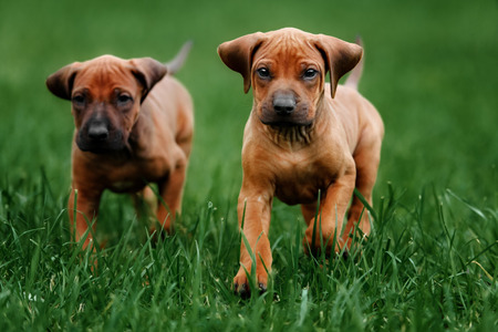 Adorable little Rhodesian Ridgeback puppies playing together in garden. Funny expressions in their faces. The little dogs are five weeks of age. Stock Photo