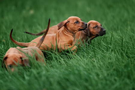 thoroughly: Adorable little Rhodesian Ridgeback puppies playing together in garden. Funny expressions in their faces. The little dogs are five weeks of age. Stock Photo