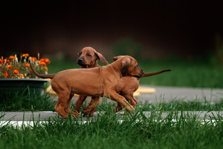 thorough: Adorable little Rhodesian Ridgeback puppies playing together in garden. Funny expressions in their faces. The little dogs are five weeks of age. Stock Photo