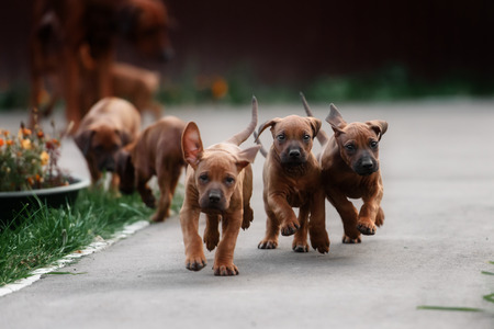 Adorable little Rhodesian Ridgeback puppies playing together in garden. Funny expressions in their faces. The little dogs are five weeks of age. Archivio Fotografico